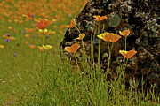 Daniel Ryan - California Poppies