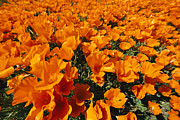 Poppy Fields Posters - California Poppies In Field Poster by Jonathan Blair
