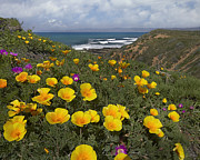 Luis Art - California Poppy Field Montano De Oro by Tim Fitzharris