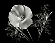 Flower Photos Framed Prints - California Poppy in Black and White Framed Print by Endre Balogh
