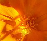 Orange Art - California Poppy by Liz Vernand