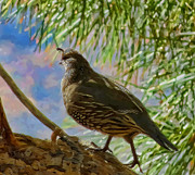 Hawkins Mixed Media - California Quail by Frank Lee Hawkins Eastern Sierra Gallery