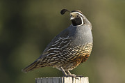 Game Bird Posters - California Quail Male Santa Cruz Poster by Sebastian Kennerknecht