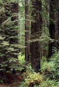 Huge Photo Prints - California Redwoods Print by Greg Vaughn - Printscapes