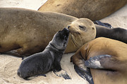 U.s.a. Posters - California Sea Lion And Newborn Pup San Poster by Suzi Eszterhas
