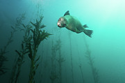 Kelp Posters - California Sea Lion In Kelp Poster by Steven Trainoff Ph.D.