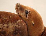 Sea Lion Photos - California Sea Lion Pup Resting Against Mother by Max Allen