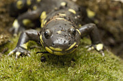 Mar1013 Framed Prints - California Tiger Salamander  Monterey Framed Print by Sebastian Kennerknecht