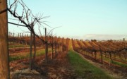 Vineyard Landscape Posters - California Vineyard In Winter Poster by Glenn McCarthy Art and Photography