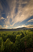 Vine Grapes Framed Prints - California Vineyard Sunset Framed Print by Matt Tilghman