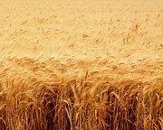 Agriculture Digital Art Originals - California Wheat Field by Mark Hendrickson