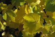 Grape Leaves Photo Posters - California Wild Grape Leaves Vitis Poster by Marc Moritsch