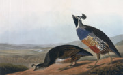 Coloured Drawings - Californian Partridge by John James Audubon