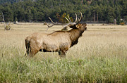 Male Elk Posters - Call of the Wild 2 Poster by Marilyn Hunt