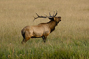 Male Elk Posters - Call of the Wild 3 Poster by Marilyn Hunt