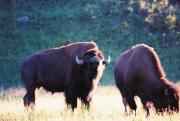 Bison Prints - Call Of The Wild Print by Jan Amiss Photography