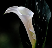 Extreme Floral Images - Calla 3 by Kathy Dahmen