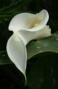 Calla Lilly Prints - Calla Curves Print by Kathy Dahmen