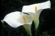 Flowers Photos Framed Prints - Calla Duet Framed Print by Kathy Yates