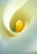 Flower Greeting Prints - Calla Print by Kathy Yates