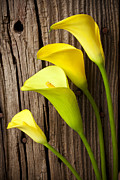 Lilies Photos - Calla lilies against wooden wall by Garry Gay