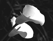 Calla Lilies Plants Framed Prints - Calla Lilies in Black and White Framed Print by Jennie Marie Schell