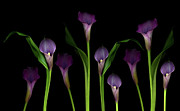 Black Background Art - Calla Lilies by Marlene Ford