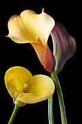 Mood Prints - Calla lilies still life Print by Garry Gay