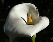 Calla Lilly Digital Art Framed Prints - Calla Lilly Framed Print by Ann Tracy