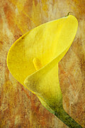 Calla Details Framed Prints - Calla lily beauty  Framed Print by Garry Gay