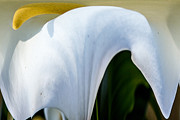 Russel Ray Prints - Calla Lily Dripper Print by Russel Ray