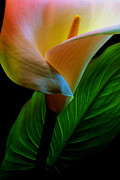 Calla Lily Photo Posters - Calla Lily Poster by Dung Ma