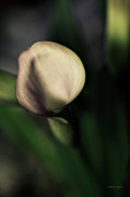 Artography Photos - Calla Lily Floral by Jayne Logan Intveld