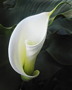 Calla Flower Prints - Calla Lily Print by Joe  Palermo