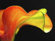 Calla Lily Photo Posters - Calla Lily Poster by Juergen Roth
