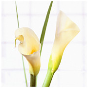 Flower Fine Art Framed Prints - Calla Lily Framed Print by Mike McGlothlen