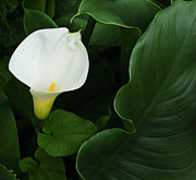 Green Day Art - Calla Lily by Photo by Dean Forbes