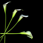Calla Lily Photo Posters - Calla Lily Poster by Photograph by Magda Indigo