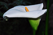 White Flower Photos - Calla Lily - Side View by Kaye Menner