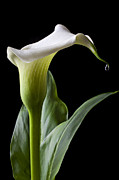 Flora Photos - Calla lily with drip by Garry Gay