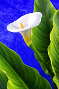 Green Leaves Photos - Calla over blue by Carlos Caetano