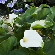 Calla Lilies - Callas at River by Heiko Koehrer-Wagner