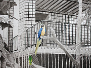 Muted Drawings Prints - Callaway Yellow Headed Amazon Parrot and Blue and Gold McCaw Print by Beth Parrish