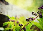 Light Purple Posters - Callicarpa japonica Japanese Beautyberry Poster by Rebecca Sherman