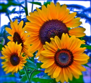 Sunflowers Digital Art - Callies Crew by Gwyn Newcombe