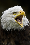 Eagle Metal Prints - Calling Bald Eagle - 4 Metal Print by Heiko Koehrer-Wagner