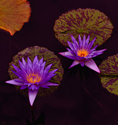 Lotus Blossoms Photos - Calling Out To You by Keren  Candiotti
