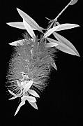 Bottle Brush Metal Prints - Callistemon Beauty 1 Metal Print by Kelley King