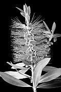 Bottle Brush Prints - Callistemon Beauty 5 Print by Kelley King