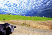 Cows Digital Art - Calm Before The Storm by Wingsdomain Art and Photography